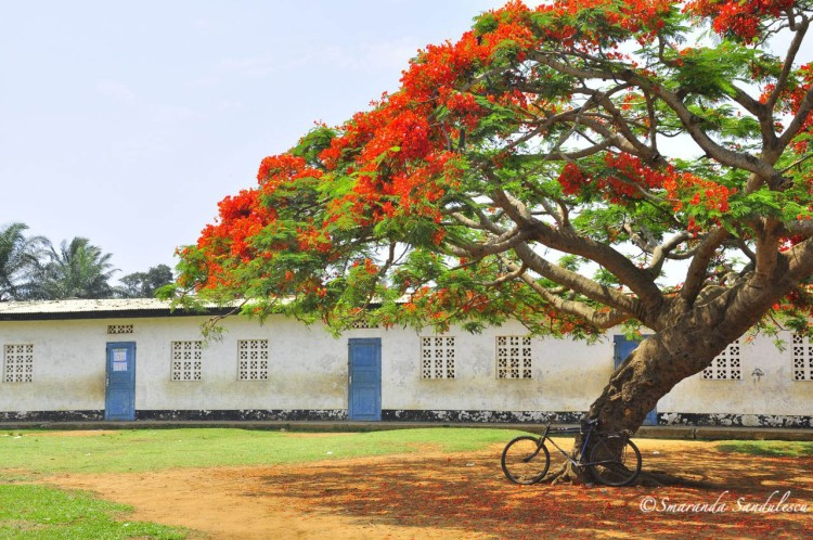 Lonely flamboyant tree in the garden of a school in Muanda, Bas Congo, DRCongo