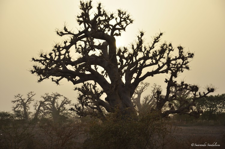 The national tree of Senegal. On the road from Dakar to St. Louis one passes through a land of mystical giants, the baobabs.